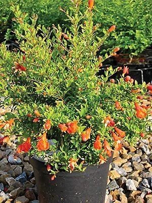 Гранат обыкновенный Nana Gracillissima (1 шт) - 1