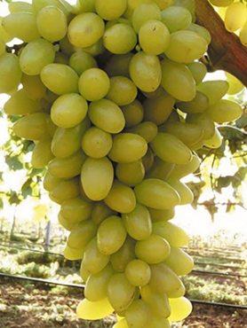 Виноград Століття (1 шт)