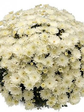 Хризантема мелкоцветковая низкорослая Branbeach White (3 шт)