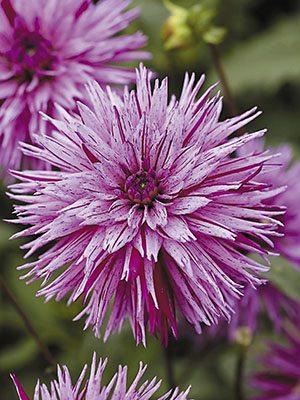 Жоржина кактусова бахромчата Striped Ambition (1 шт) - 1