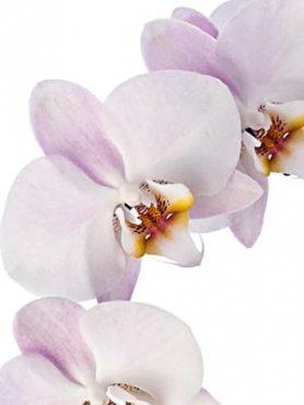 Фаленопсис гибридный Rivion (осень) (1 шт)