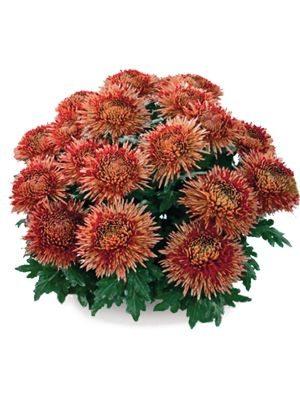 Хризантема горшечная Azadi (3 шт) - 1