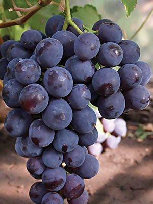 Виноград Рошфор (1 шт) - 1