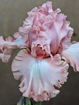 Ирисы высокие бородатые Coming Up Roses (1 шт)