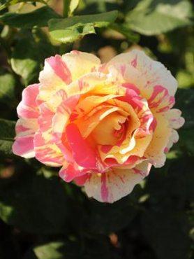 Троянда флорибунда Camille Pissarro (1 шт)