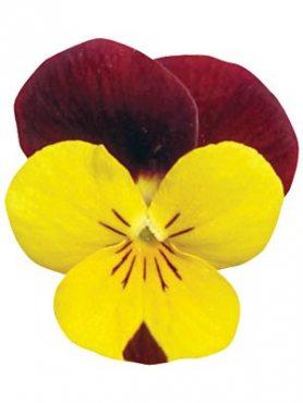 Фиалка рогатая ампельная Rebelina F1, желтая с красным (9 шт)
