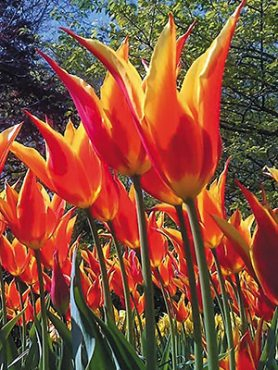 Тюльпаны Лилиецветные Fly Away 1112 (3 шт)
