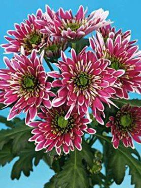 Хризантема срезочная Ermeti (3 шт)