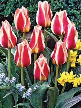 Тюльпани Грейга Mary Ann 1011 (3 шт)