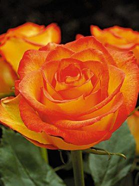 Роза чайно-гибридная Golden Dragon (1 шт)