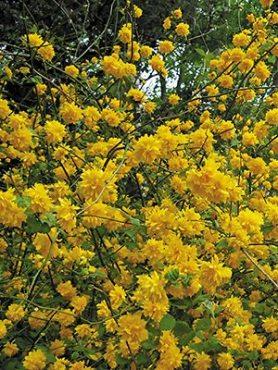Керрия японская Pleniflora (1 шт)
