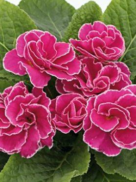 Примула обыкновенная Petticoat Rosa F1 (3 шт)