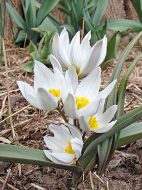 Тюльпани ботанічні двуцветковый 68 (3 шт)
