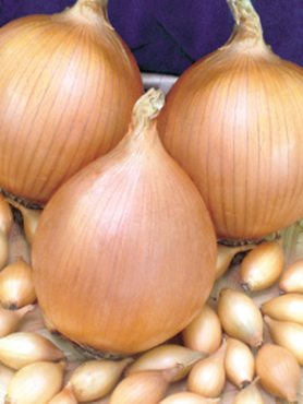 Лук севок Стурон (0,5 кг)
