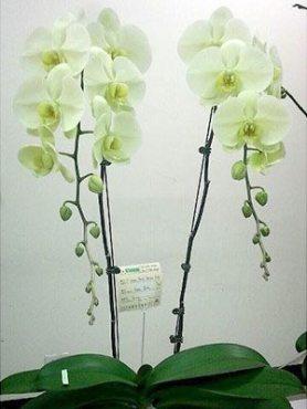 Фаленопсис гибридный Green Earth (1 шт)