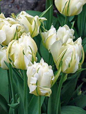 Тюльпаны Фостера Exotic Emperor 1011 (3 шт)