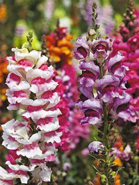Ротики садові Tetra, двокольорова суміш (0,4 г)