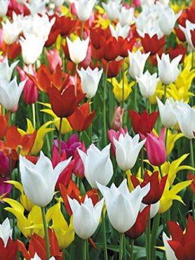 Тюльпаны Лилиецветные, смесь 1012 (50 шт)