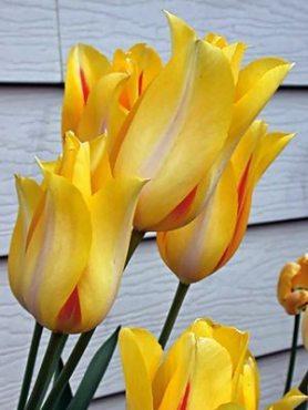 Тюльпаны Простые поздние Hocus Рocus 1112 (20 шт)