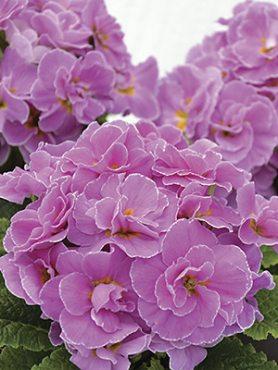 Примула обыкновенная (акаулис) Rubens Lavender Pink F1 (3 шт)
