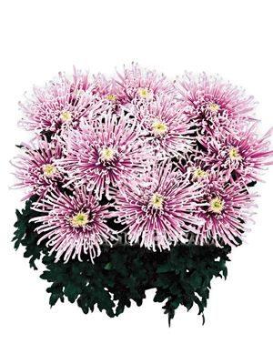 Хризантема горшечная Chusan (3 шт) - 1