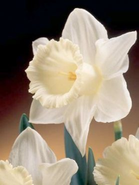 Нарциссы Трубчатые Mount Hood 1012 (3 шт)