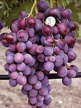 Виноград Заря Несвятая (1 шт)