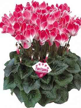 Цикламен крупноцветковый Latinia Funflame Magenta F1(осень) (1 шт)