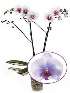 Фаленопсис гибридный Mountion (осень) (1 шт)