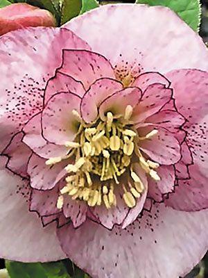 Морозник восточный анемоновидный, розовый с крапом (1 шт) - 1