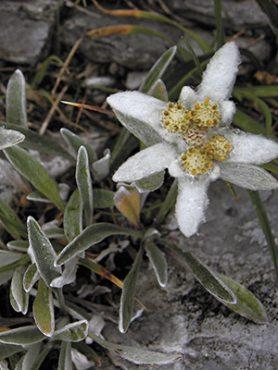 Эдельвейс альпийский (3 шт)