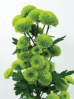 Хризантема срезочная Hue (9 шт) - 1