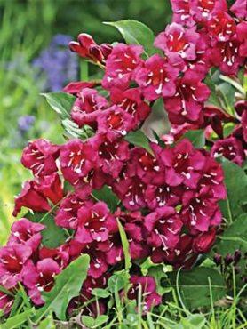 Вейгела цветущая Bristol Ruby (1 шт)