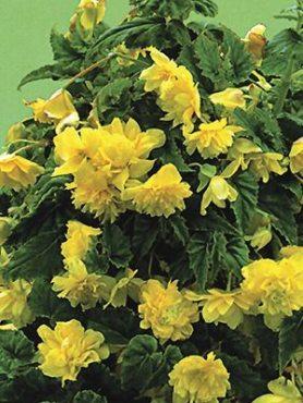 Бегония клубневая каскадная желтая (1 шт)