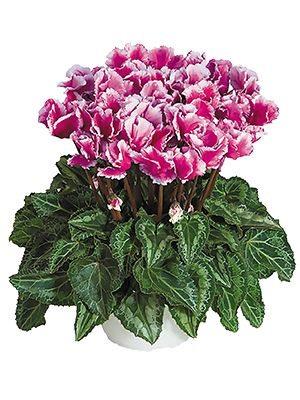 Цикламен среднецветковый Premium Abanico Violet F1 (1 шт) - 1