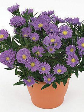 Айстра новобельгійська LTD Magic Lavender (1 шт)