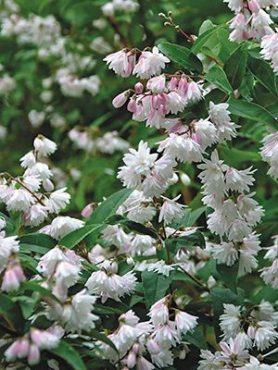 Дейция шершавая ф. махровая (1 шт)