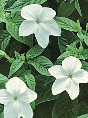 Броваллия красивая Bell Silver, белая (10 шт) - 1