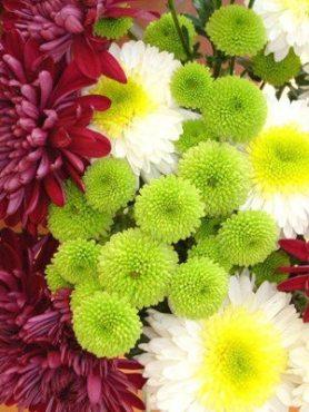 Хризантема срезочная, суміш сортів (18 шт)