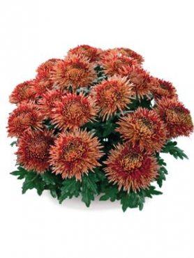 Хризантема горшечная Azadi (3 шт)