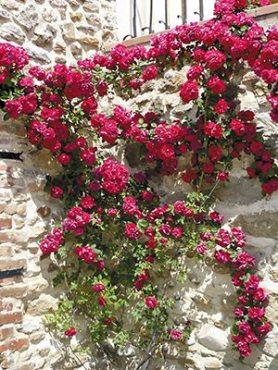 Роза в'юнка Red Parfum (1 шт)