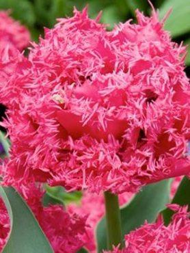 Тюльпаны Махровые бахромчатые Kingston 11/12 (3 шт)