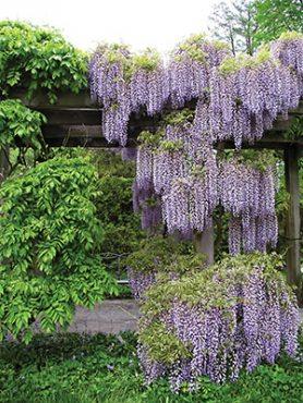 Глициния обильноцветущая Royal Purple (1 шт)
