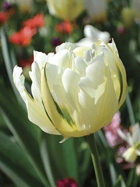 Тюльпаны Махровые ранние White Valley 1011 (100 шт)