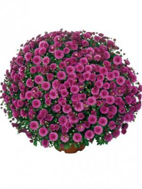 Хризантема мелкоцветковая низкорослая Fushini Mauve (3 шт)