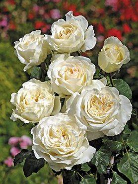 Роза чайно-гибридная Irina (1 шт)