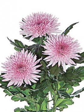 Хризантема срезочная Anastasia Pink (3 шт)
