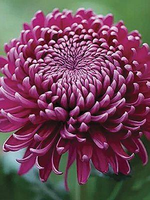 Хризантема срезочная Regal Mist Purple (9 шт) - 1