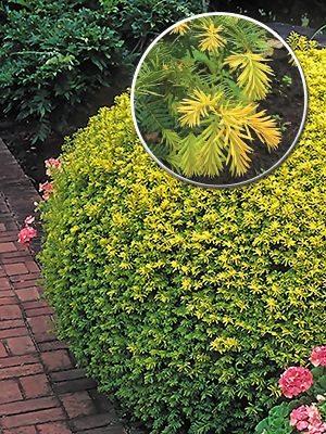 Тисс ягодный Summergold (1 шт) - 1