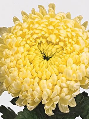 Хризантема срезочная Creamist Golden (3 шт) - 1